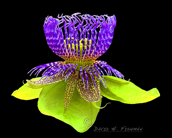 Purple passiflora.jpg